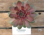 Flamingo Sempervivum Plant, Hens and Chicks, Extremely Cold Hardy Succulent