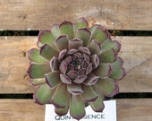 Quintessence Sempervivum Plant, Indoor or outdoor Succulent Plant