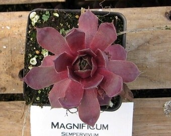 Magnificum Hens and Chicks, Sempervivum Succulent Plant, Winter Hardy