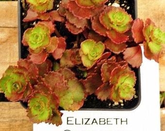 Sedum Elizabeth, Potted Stonecrop Succulent, Winter Hardy