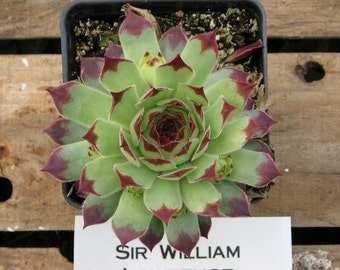 Sir William Lawrence Sempervivum,  3 inch Hens and Chicks Succulent Plant, Winter Hardy