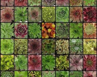 10 Succulents, SEDUM and Sempervivium, Wholesale bulk plants, Succulent Favors, Bridal Shower Plants, Terrariums Plants, wholesale succulent