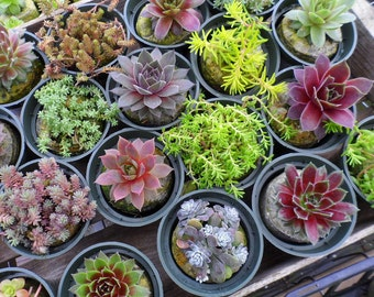 18 Extreme Winter Hardy Succulent Plants Collection, 3 inch pots, Terrariums, Tablescapes, old boots, dish gardens