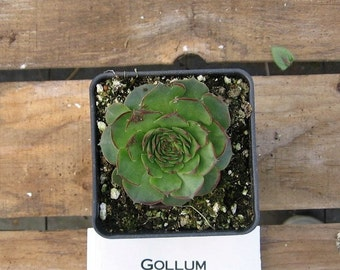 Gollum Sempervivum Plant, Hens and Chicks, Extremely Cold Hardy Succulent