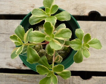Sedum spurium, Tricolor Stonecrop, Potted Succulent Plant