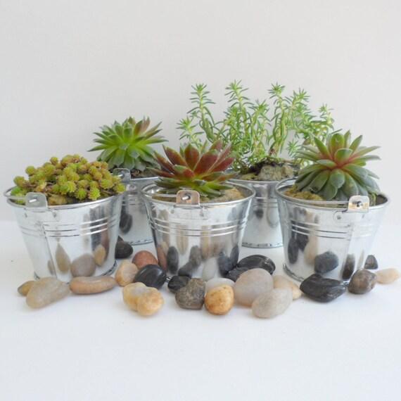 48 Succulents, 48 Pails great wedding, shower favors