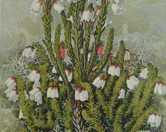 Antique Botanical Print - Alaskan Heather