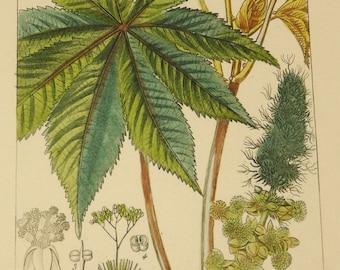 Antique French Botanical Engraving - Castor Bean