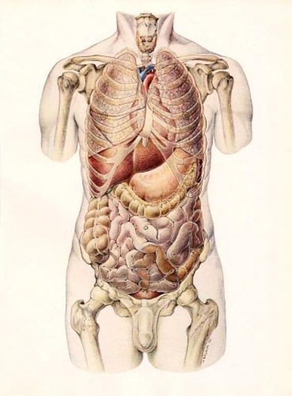 vintage anatomy organs medical illustration plate. Black Bedroom Furniture Sets. Home Design Ideas