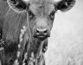 Brown Cow - 8x10 fine art print