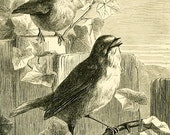 8x10 Print  - Birds Pen and Ink from 1887 Book Illustration