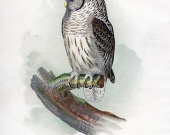 8x10 Print  - Barred Owl, From 1887 Ilustration