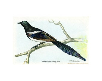 Package of 12 Blank Note Cards,  American Magpie