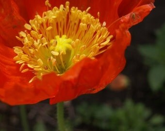 Poppy - 12 x 18 fine art photograph
