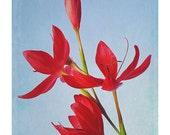 Flower Photography, Kaffir Lilies, 5x7 Inch Fine Art Print