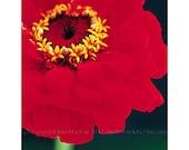 Flower Photography, 5 x 7 Inch Fine Art Print, 'Red Zinnia'
