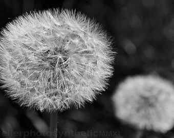 Dandelion Seed Heads in Black and White - Signed Limited Edition Fine Art Photograph - Gallery Quality Wall Art, Various Sizes and Finishes