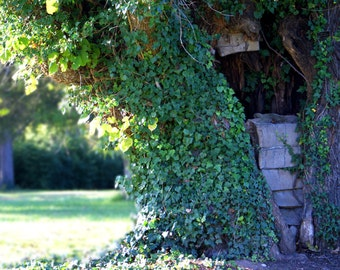 "tree ivy green leaf leaves nature ""The Hobbit House"" - 8x10 photograph"