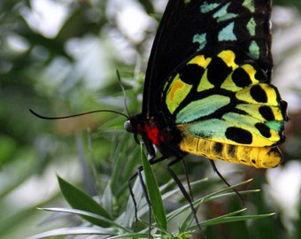 "Nature insect yellow blue green red black botanical bright - ""Stained Glass Butterfly"" 8x10 photograph"