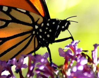 "Butterfly insect nature flower purple lavender light green orange botanical - ""The Monarch"" 8x10 photograph"