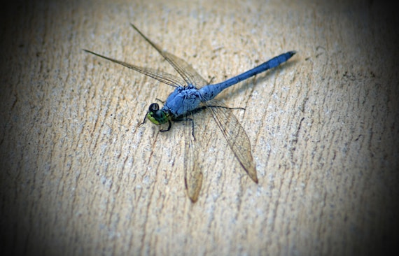 "Blue grey gray lime green black wings insect docile rest zen fantasy - ""Dragonfly"" 8x10 photograph"