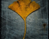 Ginkgo No. 2 - 8 in x 8 in Fine Art Photograph - Nature Photography - Ginkgo Leaf Photo Print -