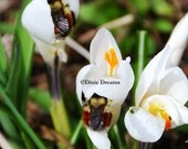 The orange-rumped bumblebees and white crocus 5x7 print