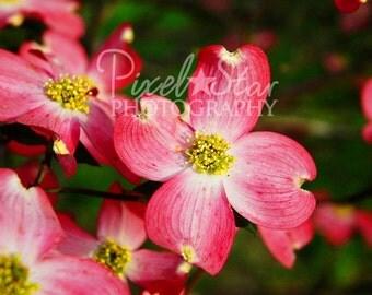 Pink Dogwoods - 8x10 Photograph