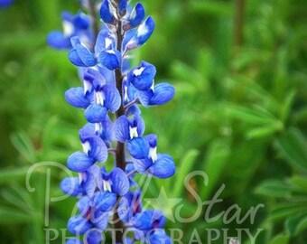Texas Bluebonnets - 12x18 Photograph