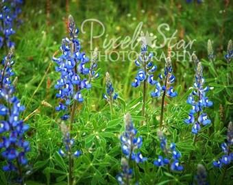 Texas Bluebonnets -10x15 Photograph