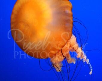 Jellyfish - 5x7 Photograph