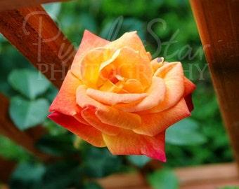 Josephs Coat Rose - 8x10 Photograph