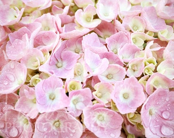 Pink Hydrangea - 8x10 Photograph
