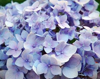 Blue/Purple Hydrangea - 8x10 Photograph