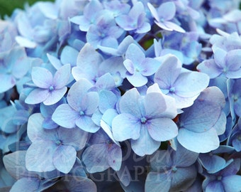 Blue Hydrangea - 8x10 Photograph