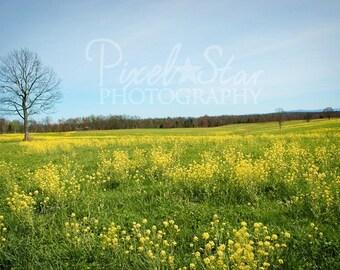 Field of Buttercups - 12 x 18 Photograph