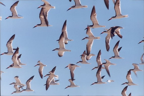 Flock of  Seagulls Cape May  8 x 12 Limited Edition Photograph