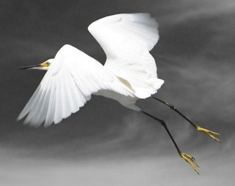 Animal Photography, Bird Photography, Snowy Egret, Bird Art Print, Fine Art Photography, Flight