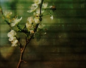 DINING OUT 5x7 Fine Art Photo Print - flowering tree branch - bee gathering pollen - vintage overlay