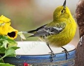 25 Percent OFF all photos read coupon - Yellow Warbler waiting for breakfast in Luana's garden on blue bowl looking up at Mom