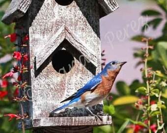 Billy Bluebird Looking Up For Betty Bluebird