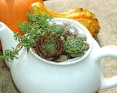 Sempervivum and Sedum in Large White Teapot