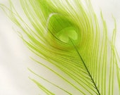 Peacock Feather Eyes, LIME GREEN (12 Feathers) Pristine D.I.Y. peacock feathers for boutonnieres, earrings, wedding bouquets and millinery