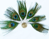 MINI Natural Peacock Feather Stemless Eyes for appliques, wedding invitations and fascinators (Stemless Natural)(Mini)(12 Feathers)