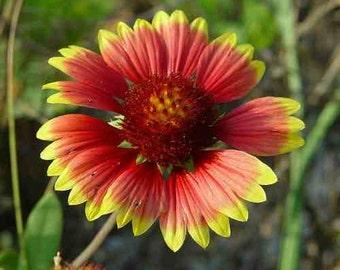 Gaillardia Blanket Flower Seeds