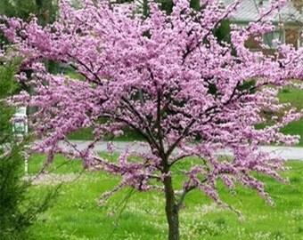 RedBud Tree Seeds