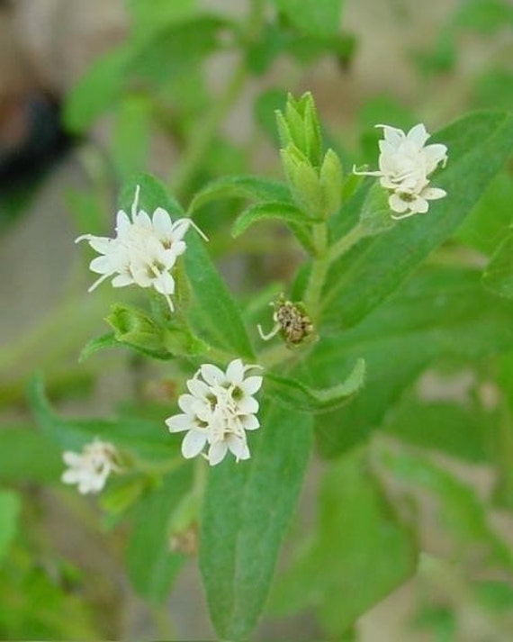 Organic Stevia Seeds