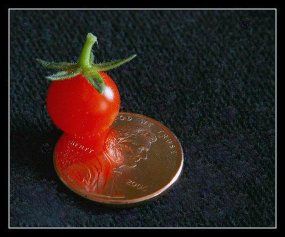 Organic Wild Florida Everglades Tomato