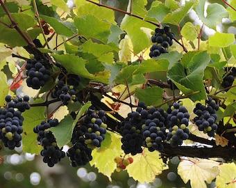 Photo Print - Purple Grapes