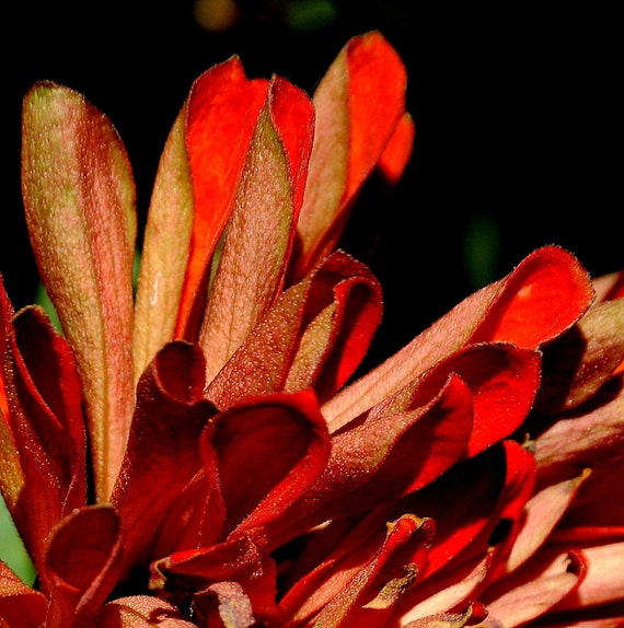 Photo Print - Petals in Orange - just the petals of an orange mum